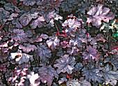 Heuchera 'Amethyst Myst' (purple bells)