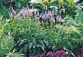Persicaria bistorta 'Superba' (Knotweed)