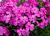 Phlox subulata 'Mac Daniels Cushion'