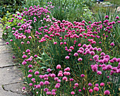 Allium schoenoprasum 'Forescate'