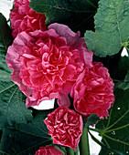 Rosa Alcea rosea 'Pleniflora' (hollyhock)