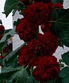 Alcea rosea 'Pleniflora'