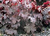 Heuchera 'Amethyst Mist' (purple bell)