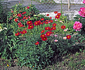 Tanacetum coccineum 'Robinsons Rot' - Rote Margerite