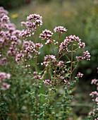 Origanum hybridum 'Dost'