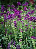 Salvia horminum 'Claryssa'