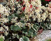 Saxifraga cortusifolia var. fortunei 'Rubrifolia' - Herbst-Steinbrech