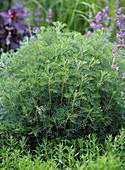 Artemisia abrotanum (Eberraute)