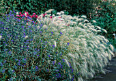 Pennisetum hybrids,