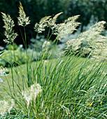 Lasiagrostis calamagrostis