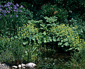 Pond edge with Alchemilla mollis