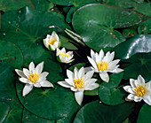 Nymphaea 'PYGMAEA Alba' (tetragona)