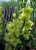 Gladiolus 'Green Star', 'Baldur' (gladiolus)