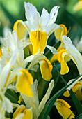Bukhara Iris (corn-leaf iris)