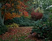 Herbstlicher Garten mit Acer japonicum 'Vitifolium' (Ahorn), Hosta sieboldiana (Funkie)