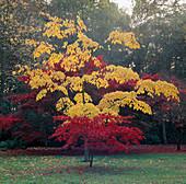 Acer conspicuum 'Silver Vein' (gelb) hinter Acer palmatum (Fächerahorn)