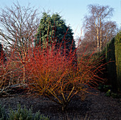 Rote Stämme von Salix alba 'Chermesna' (Weide)