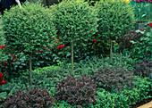 Ligustrum (privet) stem, salvia, berberis