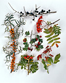 Wild bushes with fruits, blackthorn, rowanberry