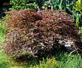 Acer palmatum 'Dissectum Garnet' (Japanese maple)