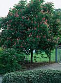 Aesculus x carnea 'Briotii' (chestnut)