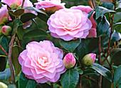 Camellia 'Nuccio's Pearl' (Camellia