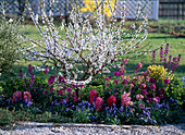 Prunus incisa (Japanese cherry), Cytisus praecox