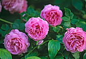 Rosa 'Louise Odier' ??(Bourbon rose), perennial, very fragrant