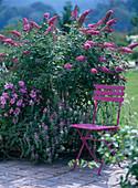 Buddleja davidii 'Pink Delight' (butterfly lilac)