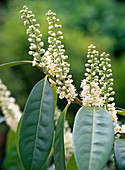 Prunus laurocerasus (cherry laurel)