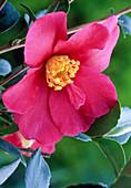 Camellia 'Hiryu'