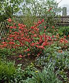 Cottage garden, Chaenomeles hybrid