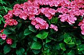Hydrangea macrophylla 'Plate Rouge'