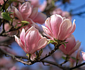 Magnolia X soulangiana (magnolia) macro