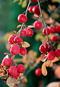 Malus 'Red Sentinel' (ornamental apple)