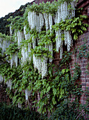 Wisteria floribunda 'Alba' (white wisteria) at the wall