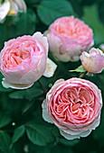 Rose 'Geoff Hamilton' English shrub rose, fragrant, more floriferous