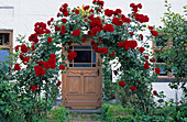Rosa 'Santana' (red climbing rose on rose arch)