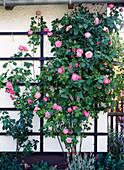 Bourbon rose 'Mme Ernest Calvat'