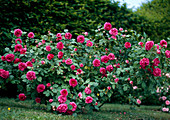 Rose bourbonica