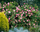 Rose 'Complicata'