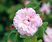 Leda' Rosa Damascena