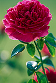 English rose 'Othello'