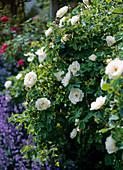 Rose alba 'Semiplena' (historic shrub rose), once flowering