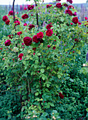 English Rose (Rosa) 'Chianti'