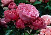 Rosa 'Leonardo da Vinci', healthy and more flowering