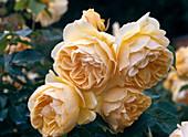 English rose, shrub rose 'Graham Thomas'