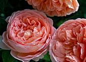 Rosa 'Abraham Darby' - Engl. Strauchrose