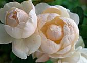 'Madame Figaro' Rose