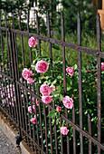Pink 'Louise Odier' ??(Bourbon rose)